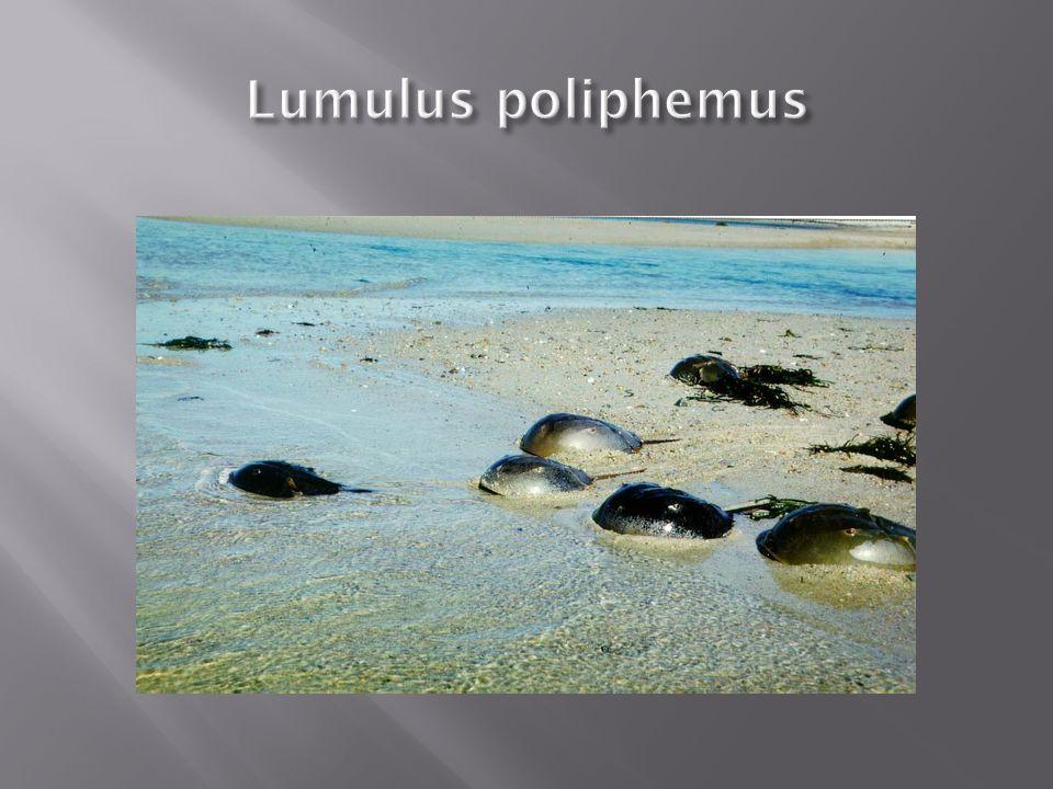 Lumulus poliphemus