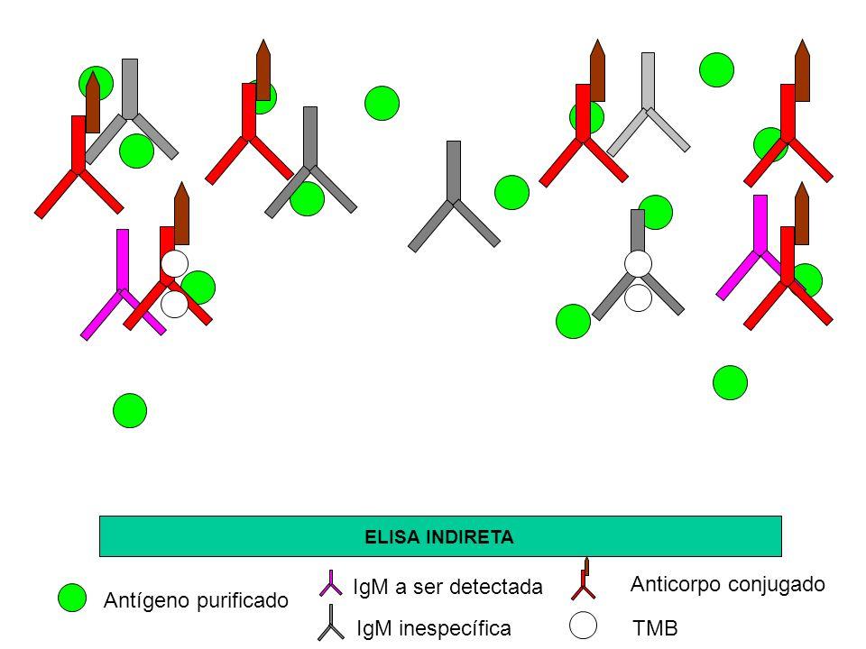 IgM a ser detectada Anticorpo conjugado Antígeno purificado