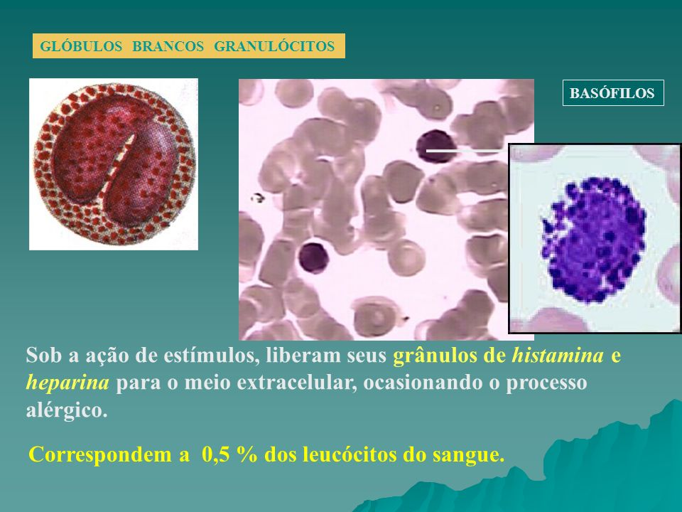 Correspondem a 0,5 % dos leucócitos do sangue.
