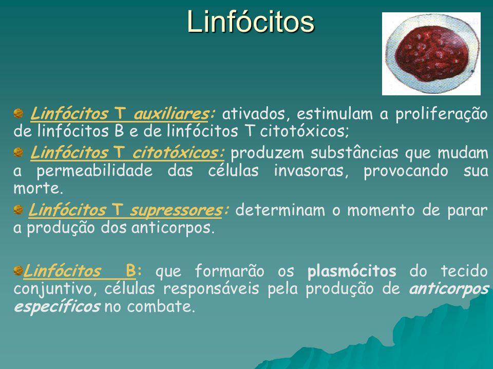 Linfócitos Linfócitos T auxiliares: ativados, estimulam a proliferação de linfócitos B e de linfócitos T citotóxicos;