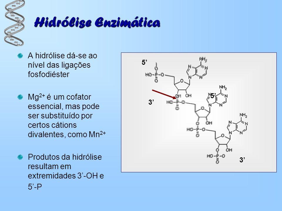 Hidrólise Enzimática A hidrólise dá-se ao nível das ligações fosfodiéster.