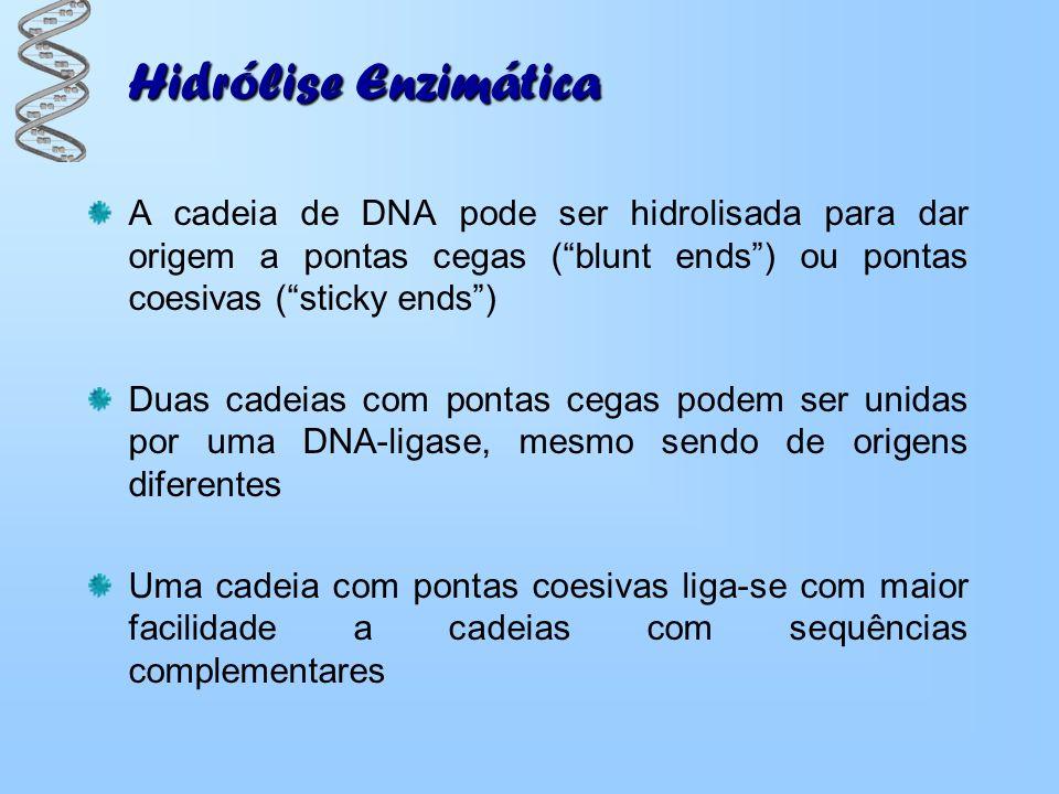 Hidrólise Enzimática A cadeia de DNA pode ser hidrolisada para dar origem a pontas cegas ( blunt ends ) ou pontas coesivas ( sticky ends )