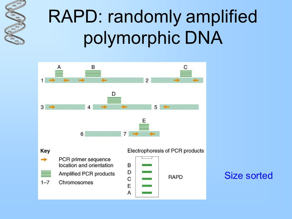 RAPD: randomly amplified polymorphic DNA