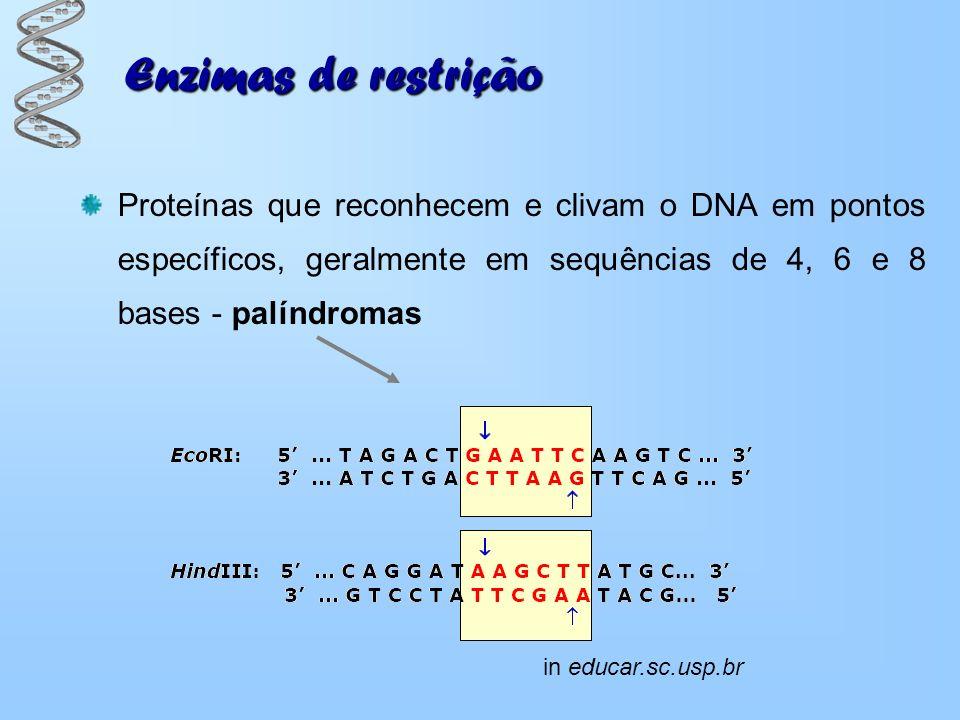 Enzimas de restrição Proteínas que reconhecem e clivam o DNA em pontos específicos, geralmente em sequências de 4, 6 e 8 bases - palíndromas.