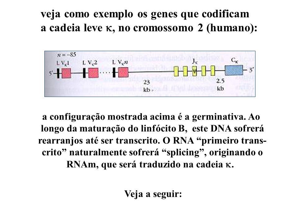 veja como exemplo os genes que codificam