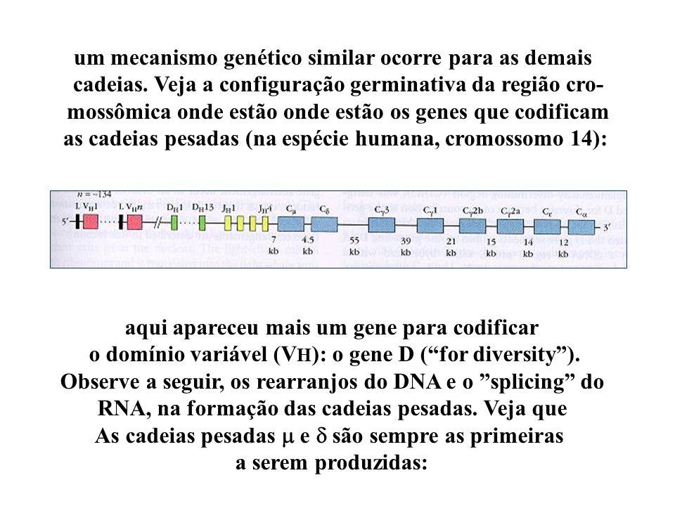 um mecanismo genético similar ocorre para as demais