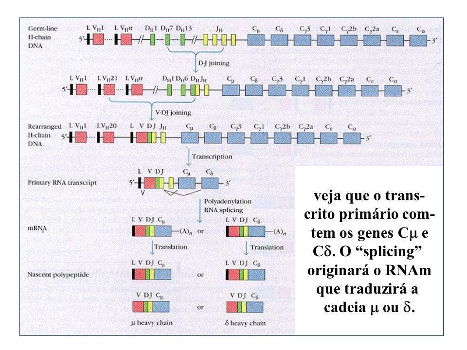 veja que o trans- crito primário com- tem os genes Cm e. Cd. O splicing originará o RNAm. que traduzirá a.