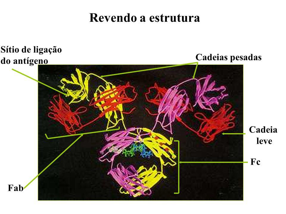Revendo a estrutura Sítio de ligação do antígeno Cadeias pesadas