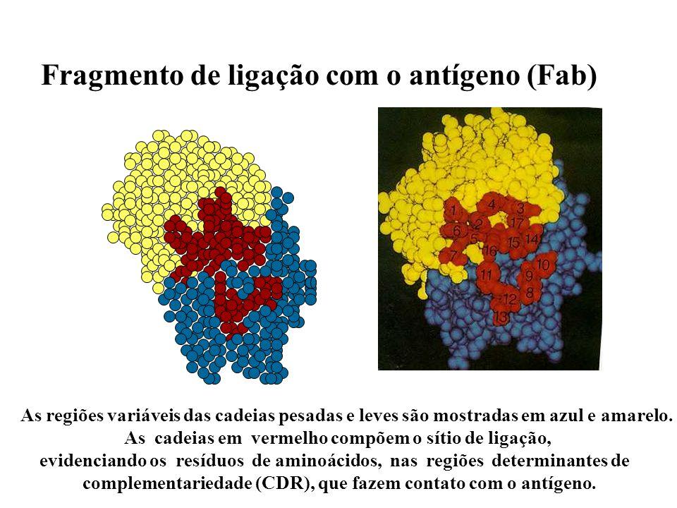 Fragmento de ligação com o antígeno (Fab)