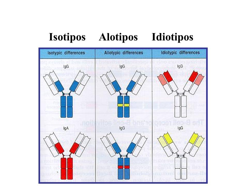 Isotipos Alotipos Idiotipos