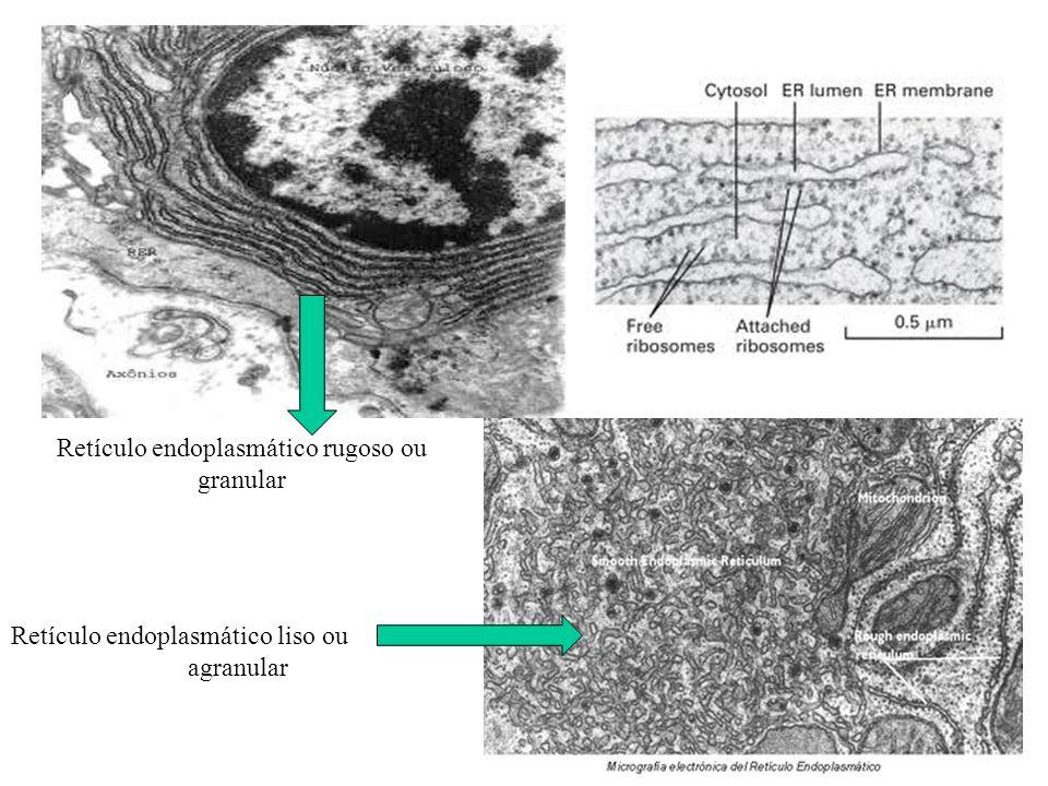 Retículo endoplasmático rugoso ou granular