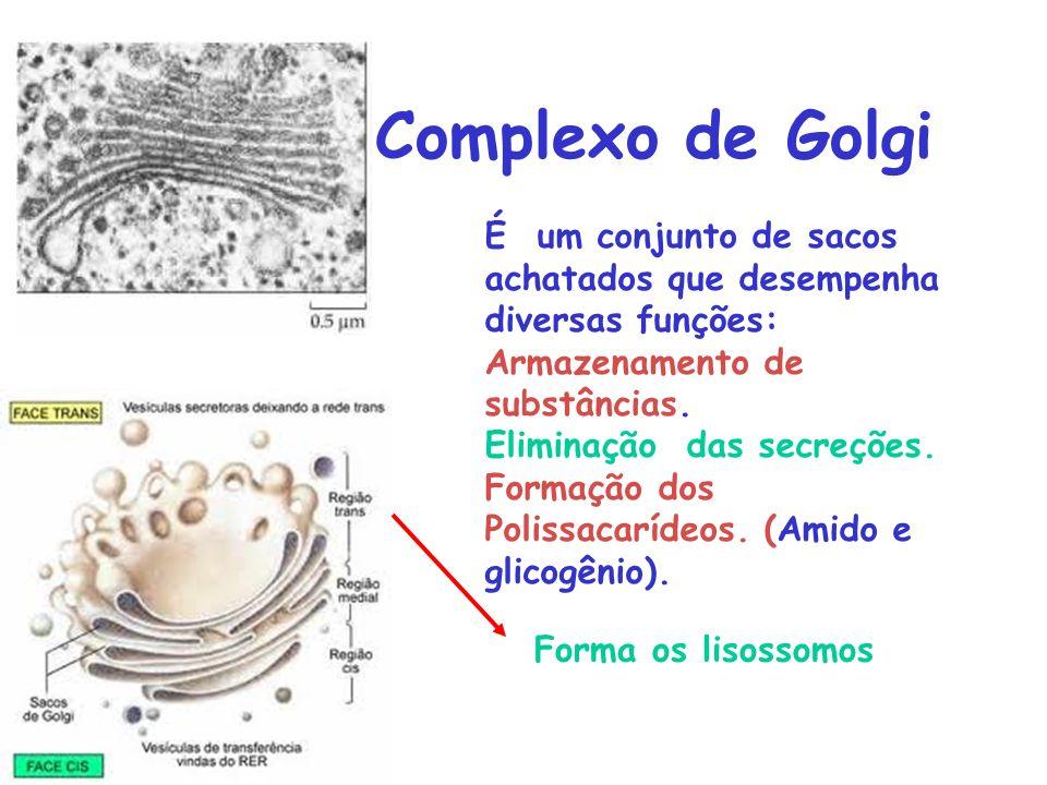 Complexo de Golgi É um conjunto de sacos achatados que desempenha diversas funções: Armazenamento de substâncias.