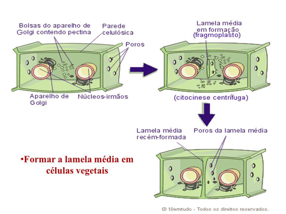 Formar a lamela média em células vegetais
