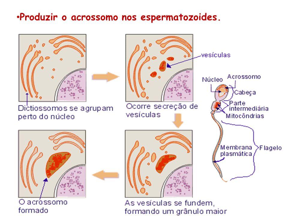 Produzir o acrossomo nos espermatozoides.