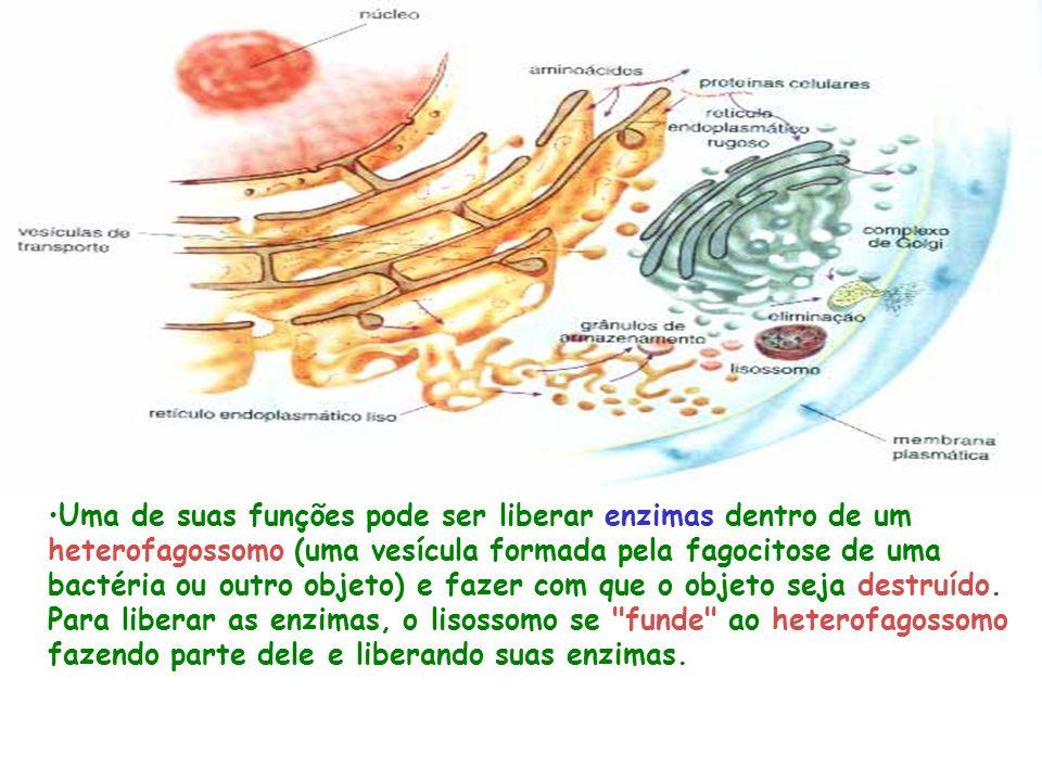 Uma de suas funções pode ser liberar enzimas dentro de um heterofagossomo (uma vesícula formada pela fagocitose de uma bactéria ou outro objeto) e fazer com que o objeto seja destruído.