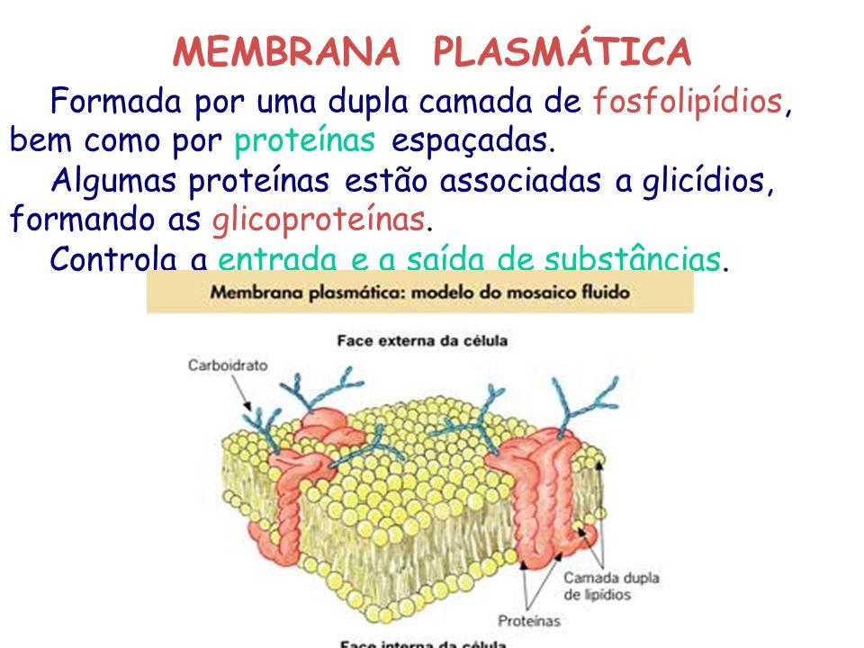MEMBRANA PLASMÁTICA Formada por uma dupla camada de fosfolipídios, bem como por proteínas espaçadas.