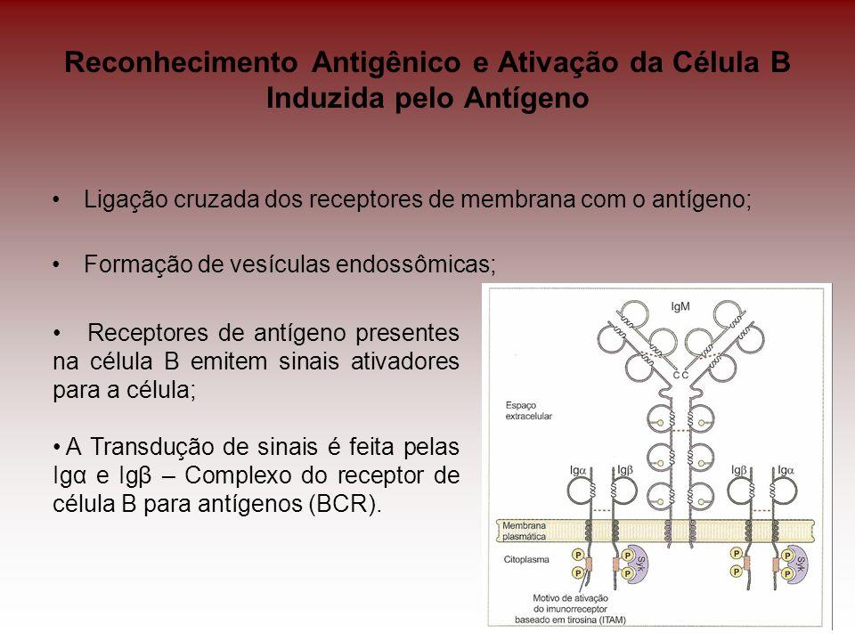 Reconhecimento Antigênico e Ativação da Célula B Induzida pelo Antígeno