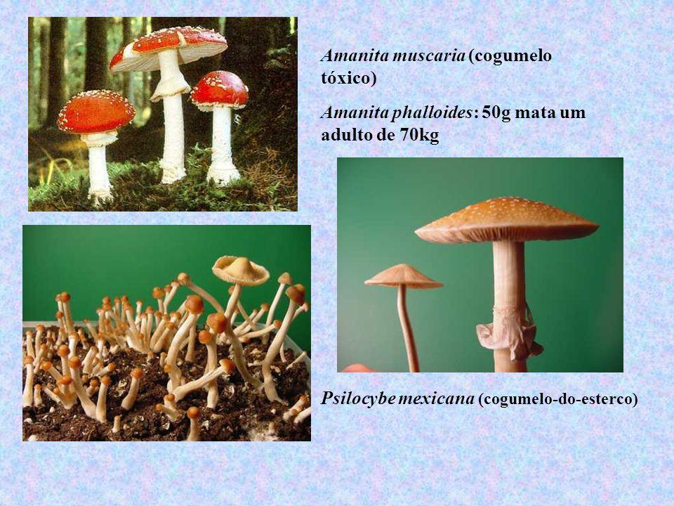 Amanita muscaria (cogumelo tóxico)