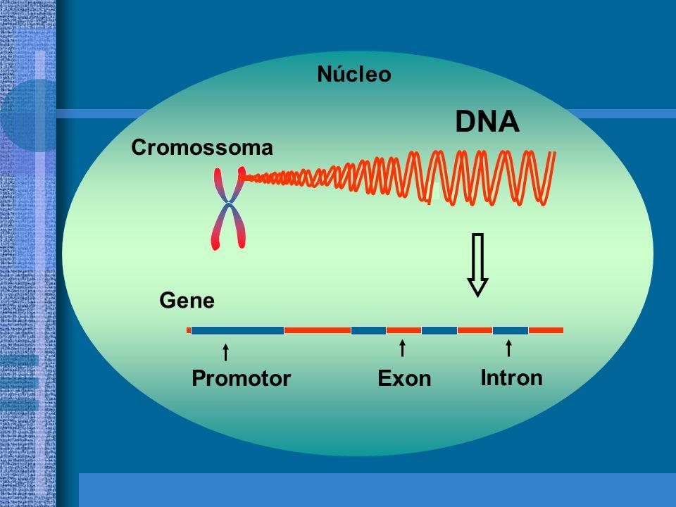 Núcleo DNA Cromossoma Gene Promotor Exon Intron