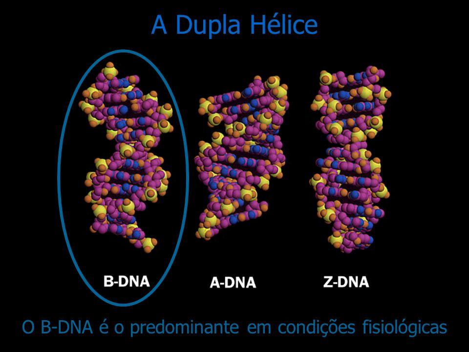O B-DNA é o predominante em condições fisiológicas
