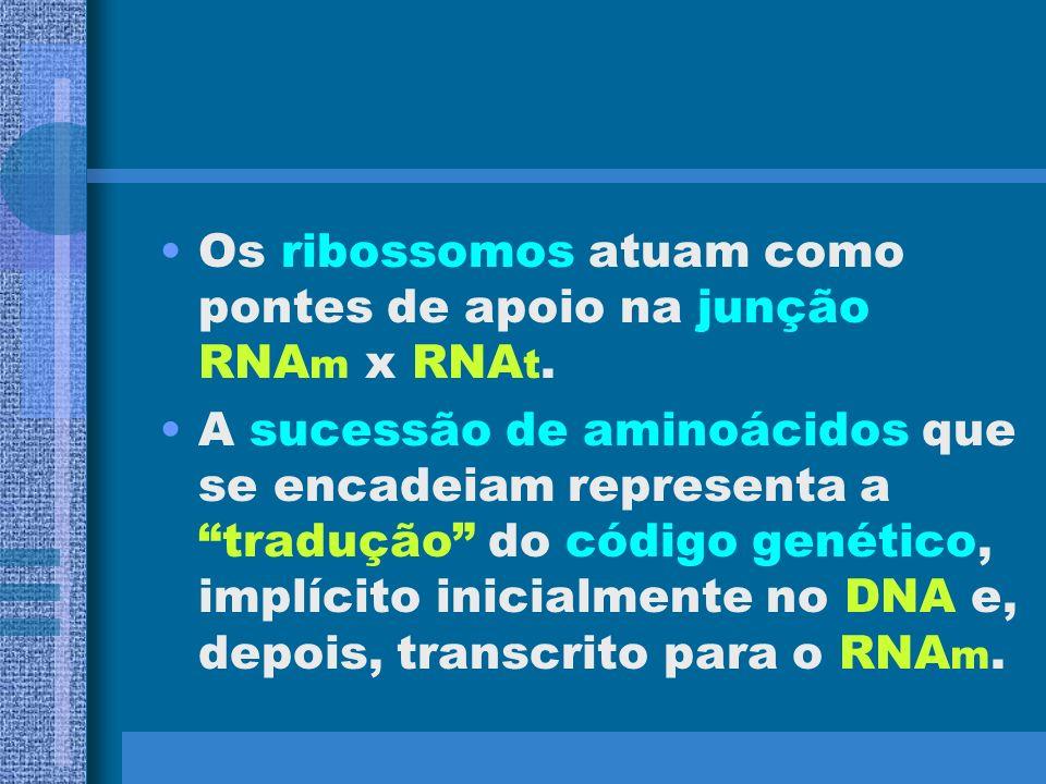 Os ribossomos atuam como pontes de apoio na junção RNAm x RNAt.