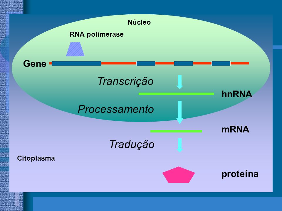 Transcrição Processamento Tradução Gene hnRNA mRNA proteína Núcleo