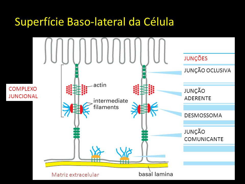 Superfície Baso-lateral da Célula