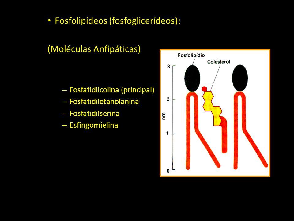 Fosfolipídeos (fosfoglicerídeos): (Moléculas Anfipáticas)