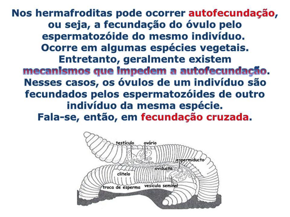 Nos hermafroditas pode ocorrer autofecundação,