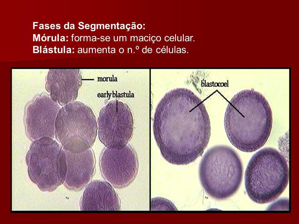 Fases da Segmentação: Mórula: forma-se um maciço celular