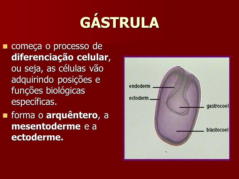 GÁSTRULA começa o processo de diferenciação celular, ou seja, as células vão adquirindo posições e funções biológicas específicas.