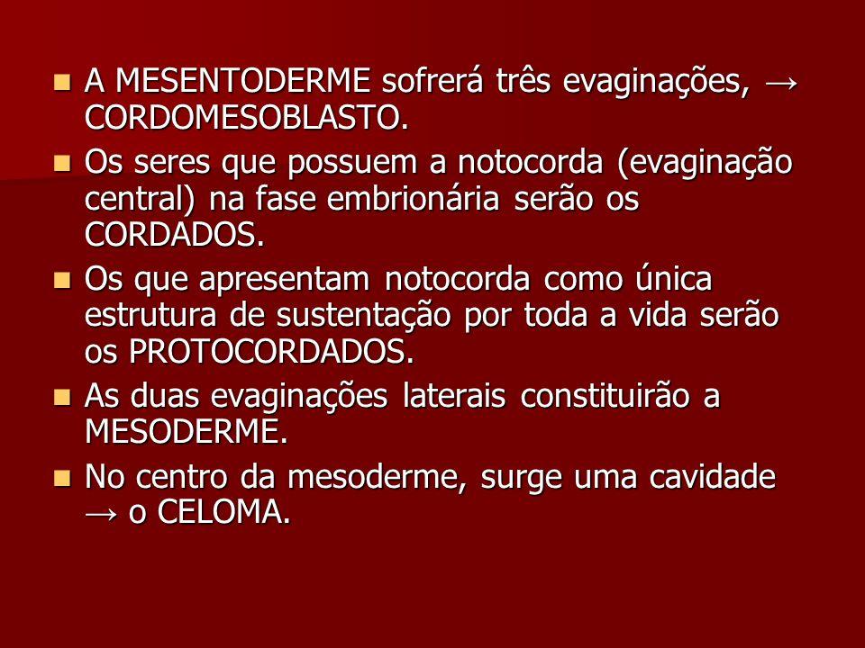 A MESENTODERME sofrerá três evaginações, → CORDOMESOBLASTO.