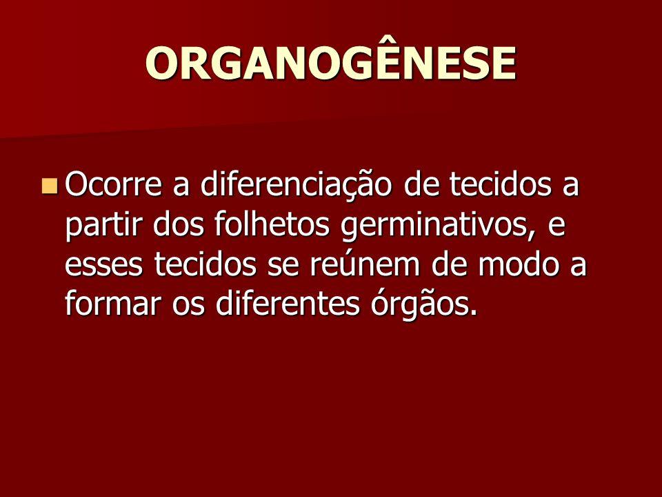 ORGANOGÊNESE Ocorre a diferenciação de tecidos a partir dos folhetos germinativos, e esses tecidos se reúnem de modo a formar os diferentes órgãos.
