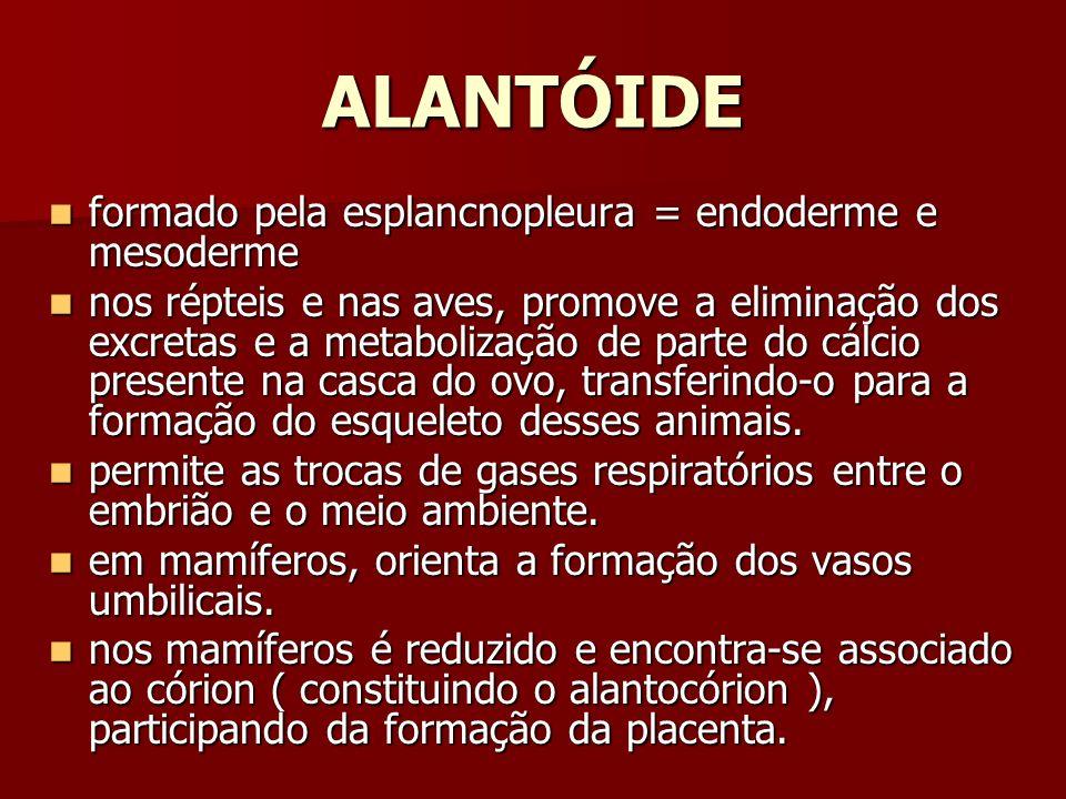 ALANTÓIDE formado pela esplancnopleura = endoderme e mesoderme