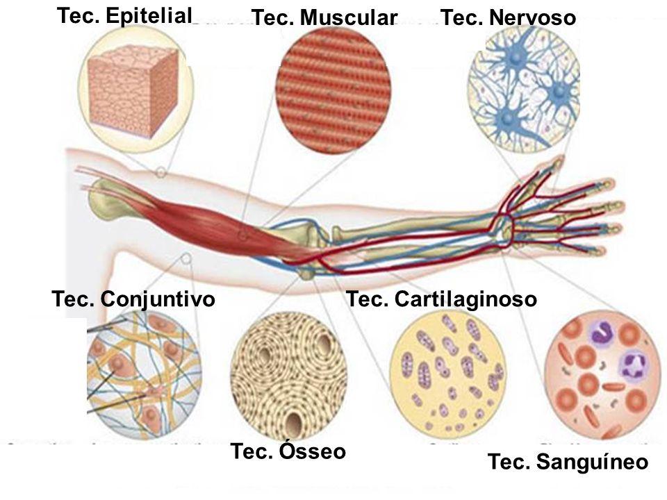 Tec. Epitelial Tec. Muscular. Tec. Nervoso. Tec.
