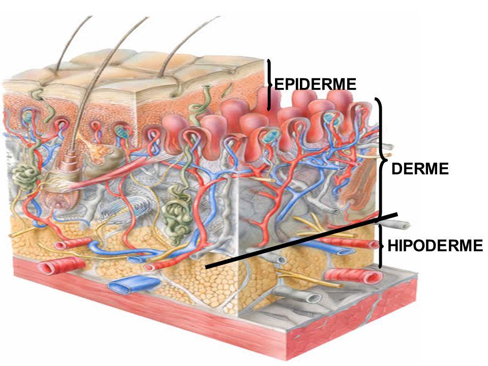 EPIDERME DERME HIPODERME