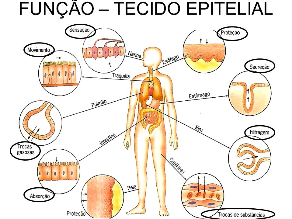 FUNÇÃO – TECIDO EPITELIAL