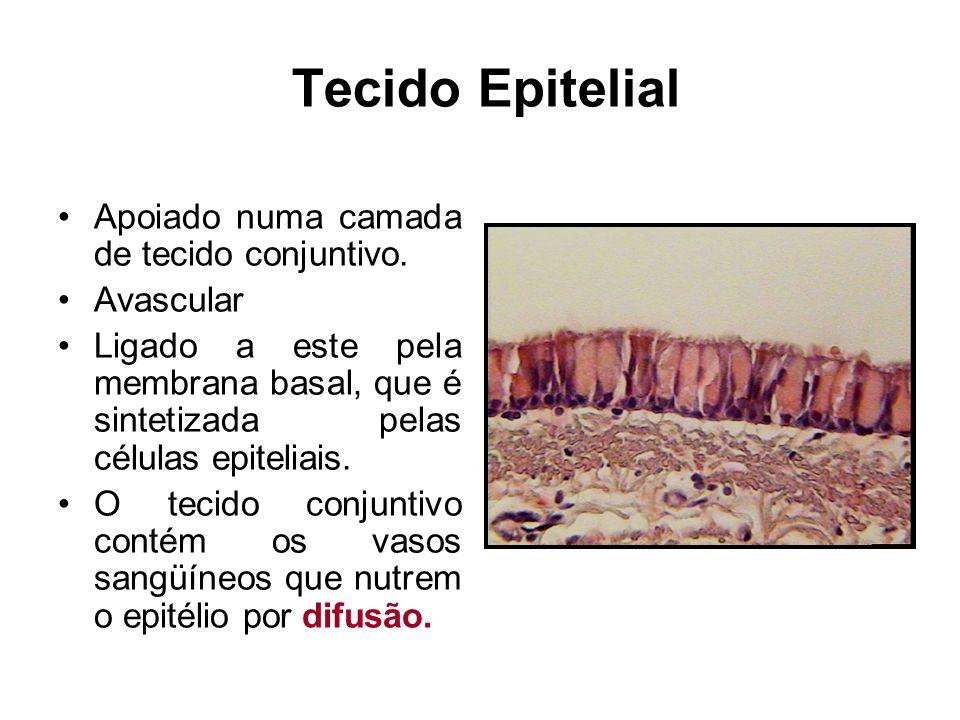 Tecido Epitelial Apoiado numa camada de tecido conjuntivo. Avascular