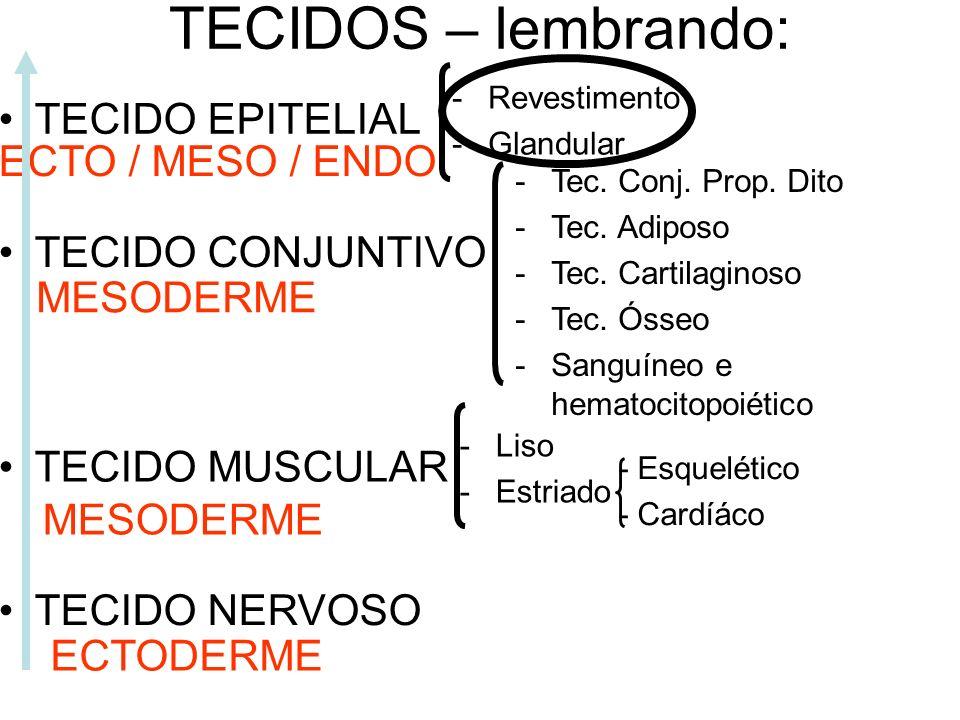 TECIDOS – lembrando: TECIDO EPITELIAL ECTO / MESO / ENDO