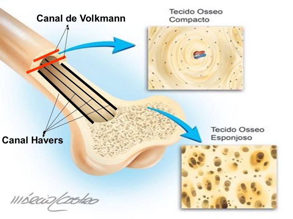 Canal de Volkmann Canal Havers