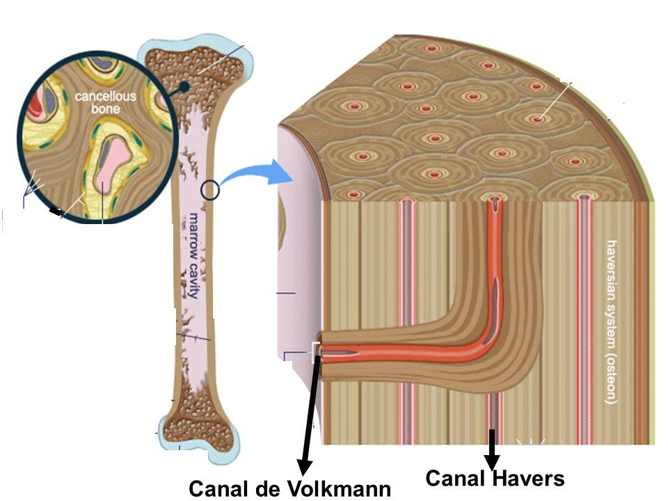 Canal Havers Canal de Volkmann