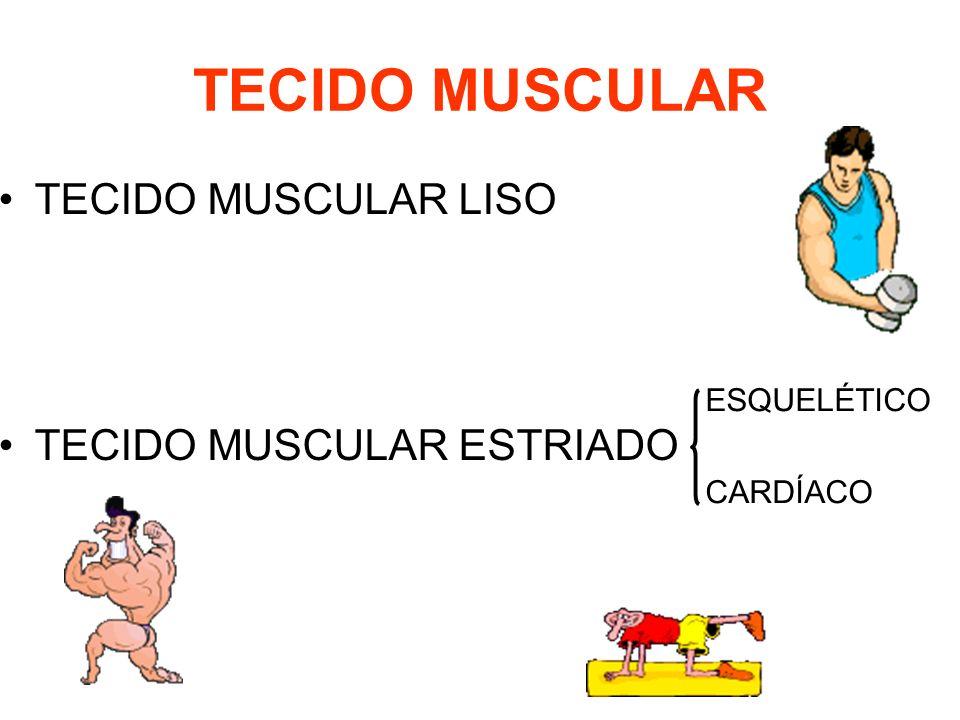 TECIDO MUSCULAR TECIDO MUSCULAR LISO TECIDO MUSCULAR ESTRIADO
