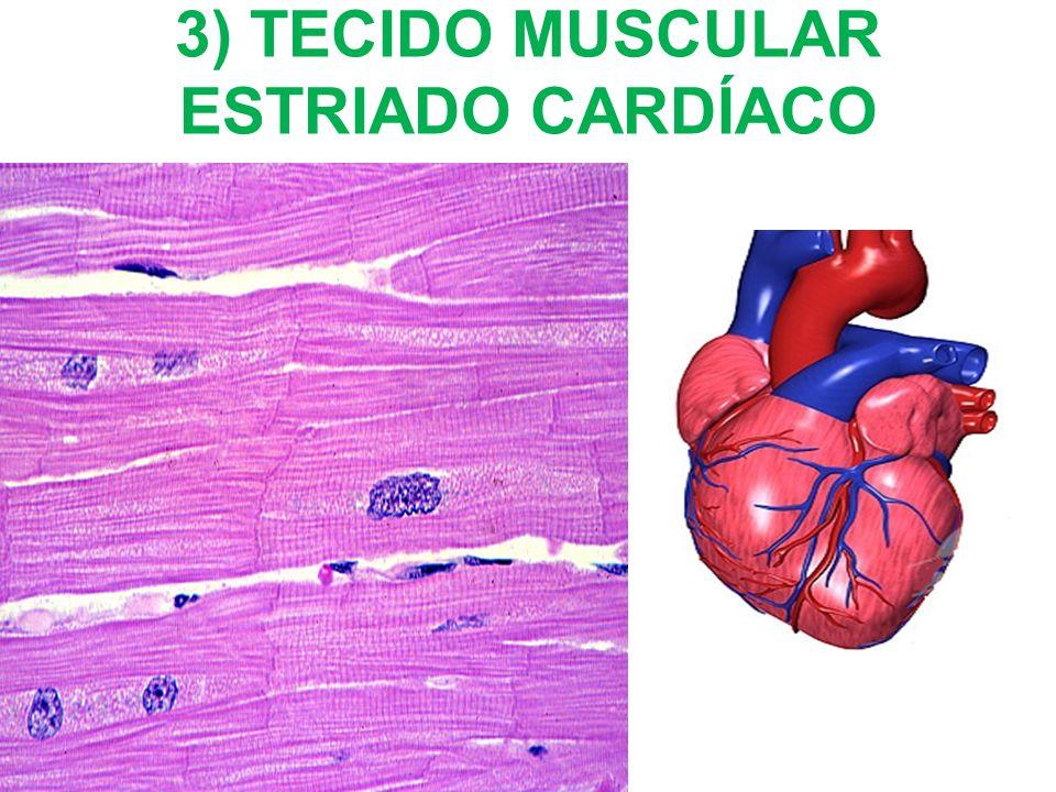 3) TECIDO MUSCULAR ESTRIADO CARDÍACO