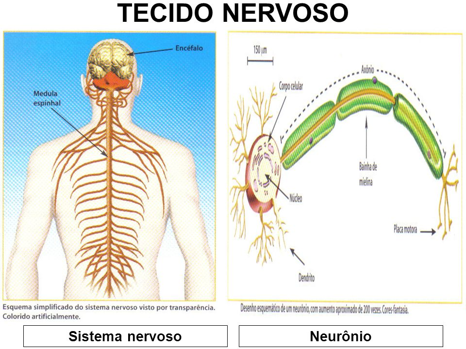 TECIDO NERVOSO Sistema nervoso Neurônio