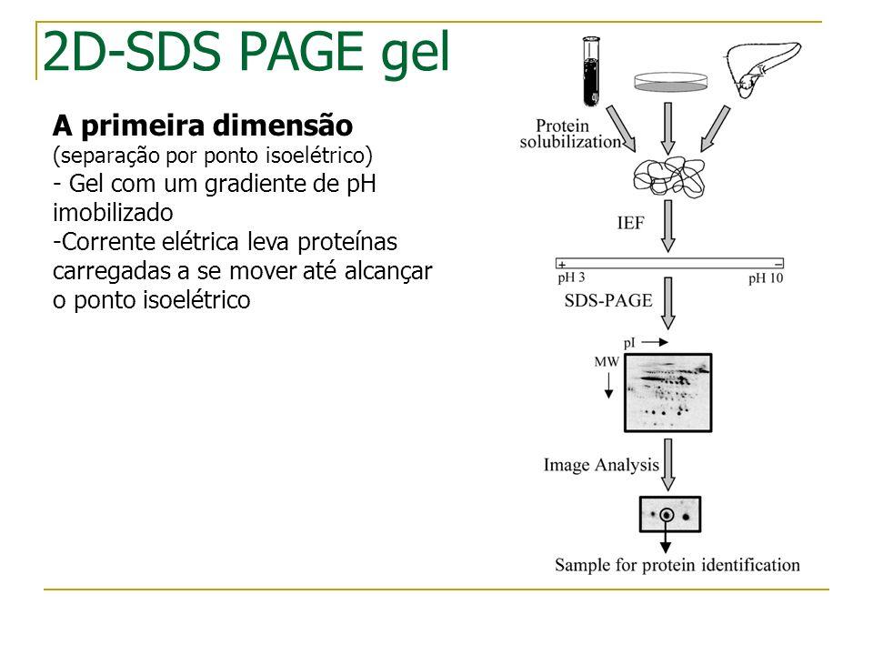 2D-SDS PAGE gel A primeira dimensão