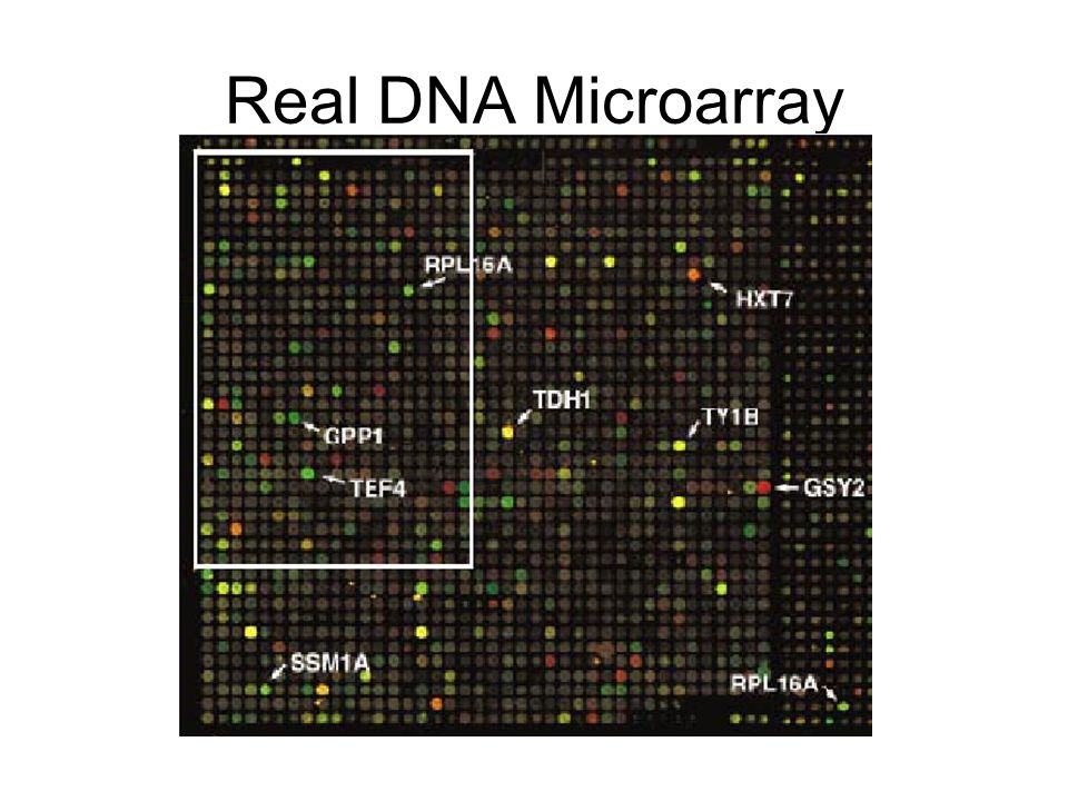 Real DNA Microarray