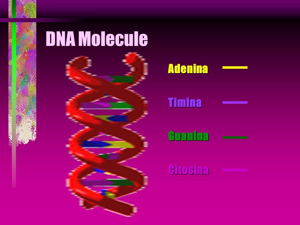 DNA Molecule Adenina Timina Guanina Citosina