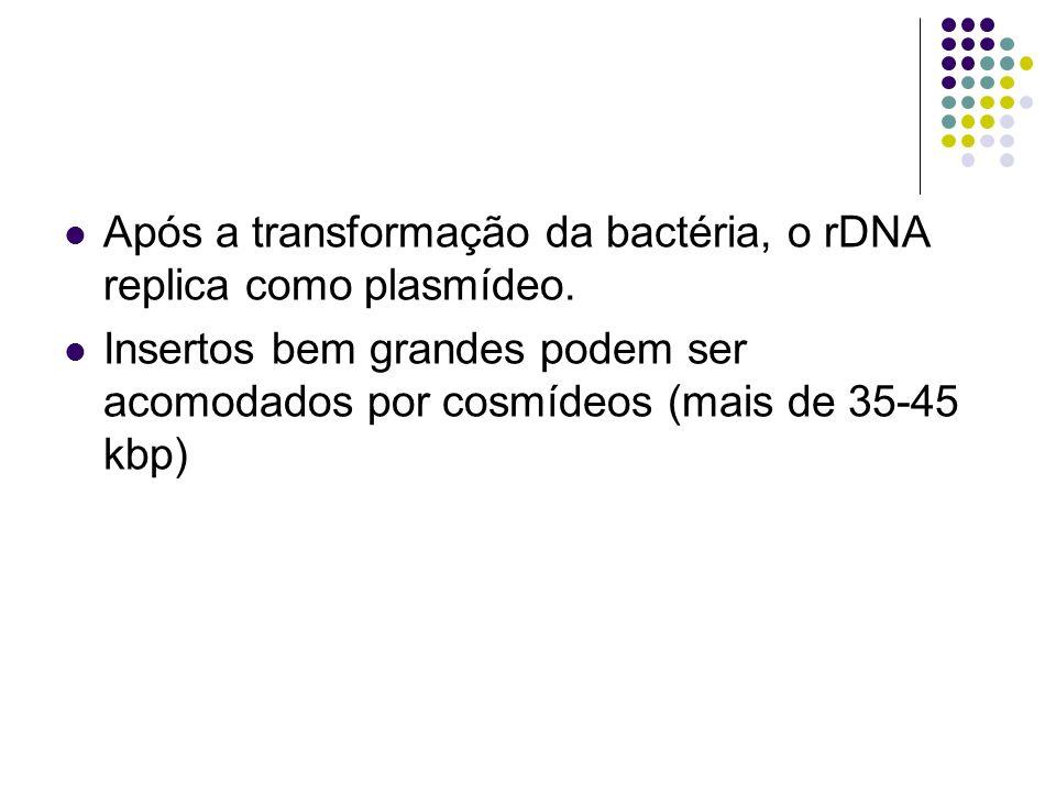 Após a transformação da bactéria, o rDNA replica como plasmídeo.
