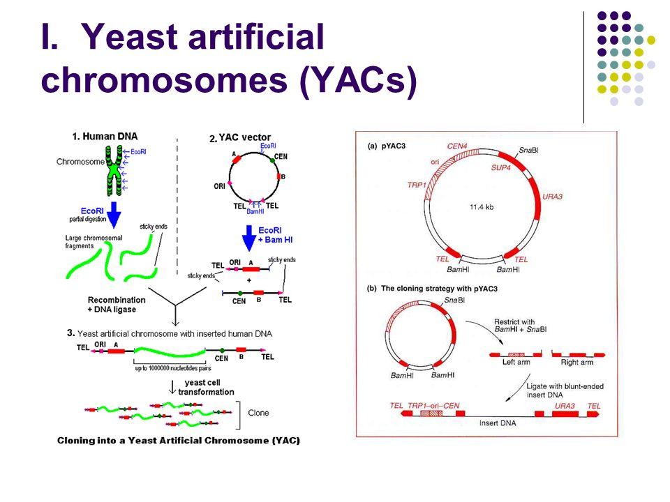 I. Yeast artificial chromosomes (YACs)