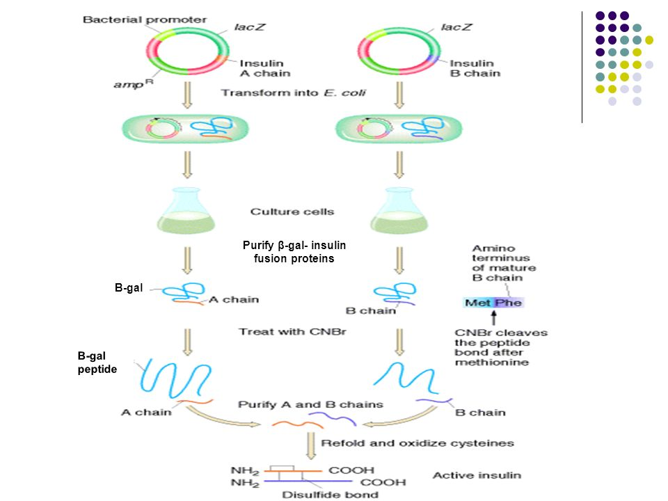 Purify β-gal- insulin fusion proteins